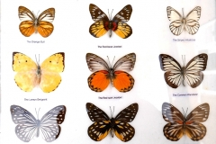 "Collection papillons ""voyageurs"" : Jezebel, Emigrant, wanderer..."