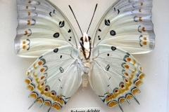 Papillon Polyura Delphis - Thaïlande