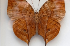 Papillon Kallima paralekta - Indonésie