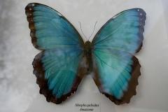 Papillon Morpho Peleides-Amazonie