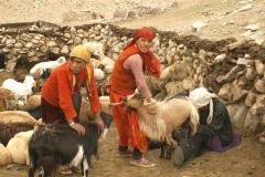 Traite-des-chèvres-nomades Asie centrale-LMBlanchard